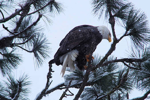 An eagle in the pine by Jeff Swan