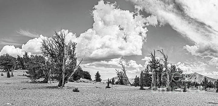 Jamie Pham - Ancient Bristlecone Pine Forest Panorama