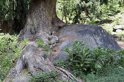 Ancient tree on a rock by Sumit Mehndiratta