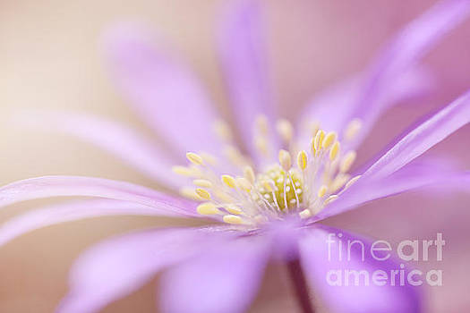 LHJB Photography - Anemone blanda