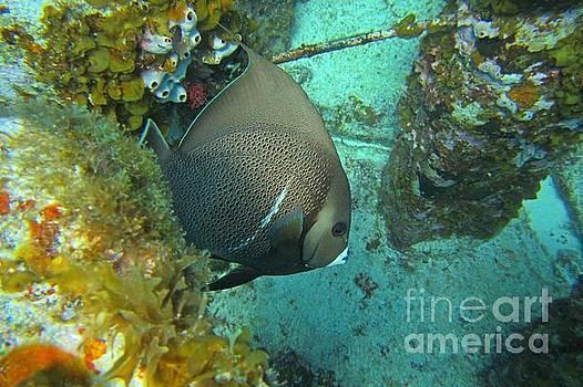John Malone - Angel Fish on Reef