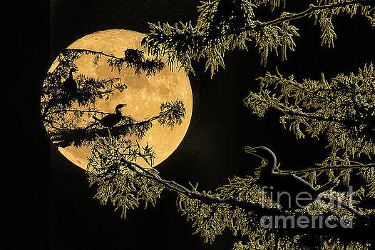 Anhingas in Full Moon by Bonnie Barry