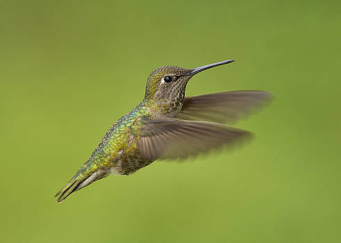 Anna's Hummingbird, Sacramento County California by Doug Herr