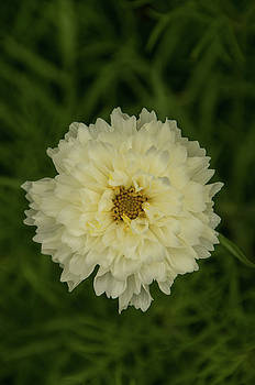 Double Click Snow Puff Cosmos Flower by Marilyn Wilson