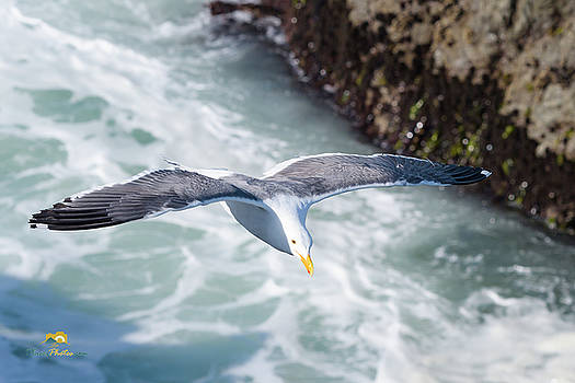 Another Seagull in Flight by Jim Thompson