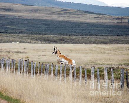 Antelope jumping fence 1 by Rebecca Margraf