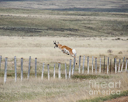 Antelope jumping fence 2 by Rebecca Margraf