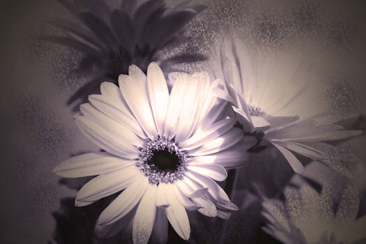 Cathy  Beharriell - Antique Delicate Daisies