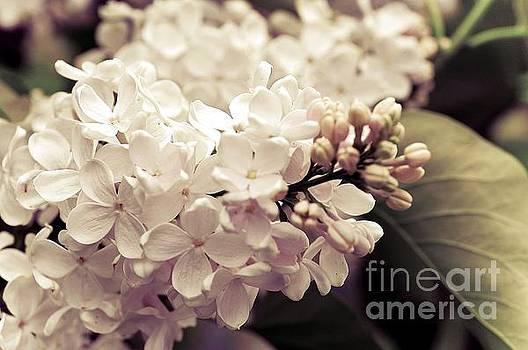 Antique Lilacs by Elaine Manley