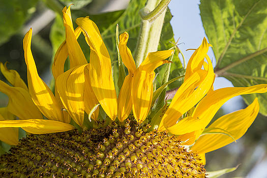 Ants on a sunflower by Ted Petrovits