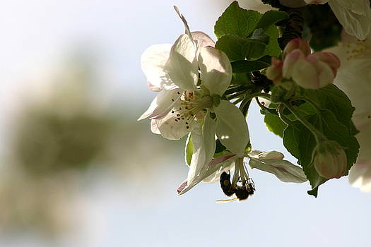 Apple Blossom Heaven by Laurie Penrod