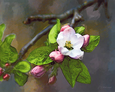 Apple blossom by Joe Halinar
