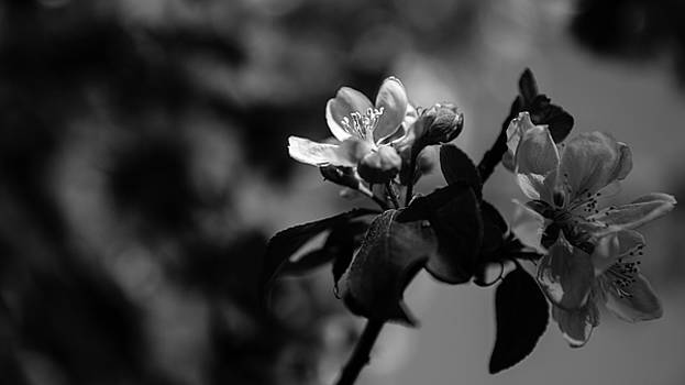 Apple Blossom - Monochrome Version by Andreas Levi