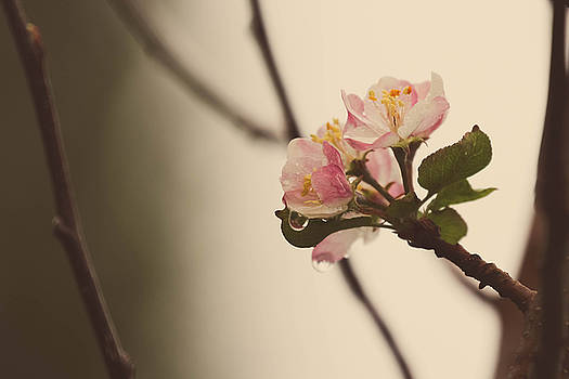 Apple Blossom by Tingy Wende