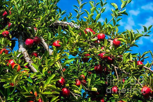 Apple Orchard by John Baumgartner