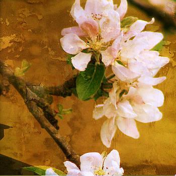 Apple tree blossom by Sonia Stewart