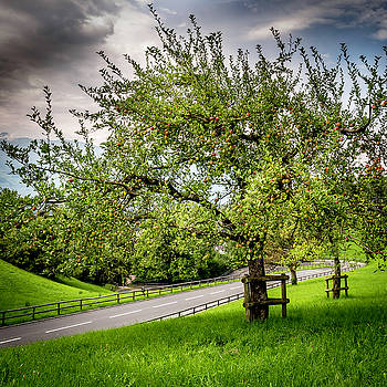 Apple Tree by Gretchen Tracy