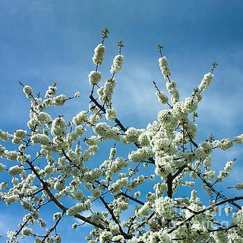BERNARD JAUBERT - Apple tree in blossom