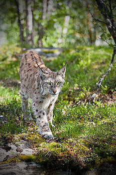 Approaching Lynx by Yngve Alexandersson
