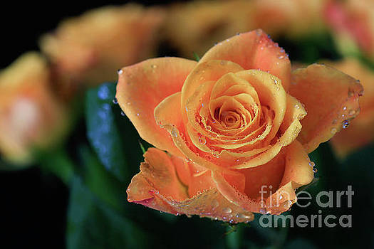 Apricot Peach Rose by Tracy Hall