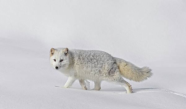 Arctic Fox In Winter D9923 by Wes and Dotty Weber