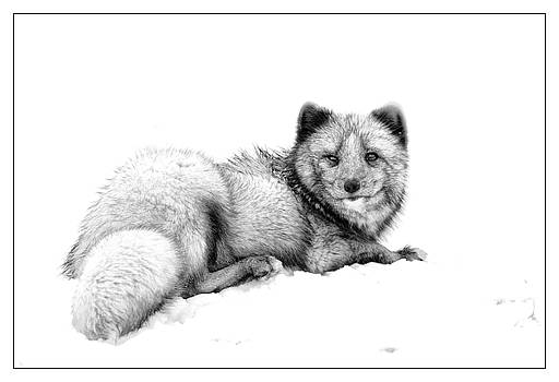 Arctic Fox by John Fotheringham