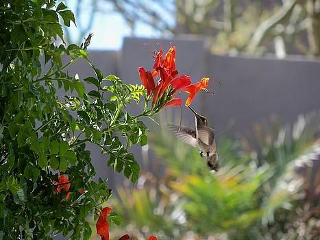 Arizona Hummingbird by Julie Bell