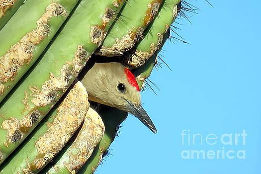 Arizona Woodpecker by Selma Glunn