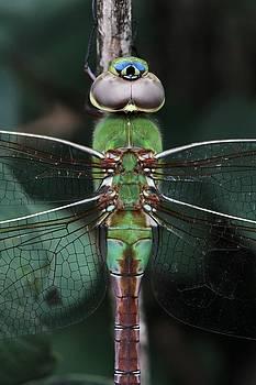 Art Deco Dragonfly by Doris Potter