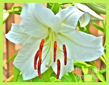 Asciatic White Lily by Marsha Heiken