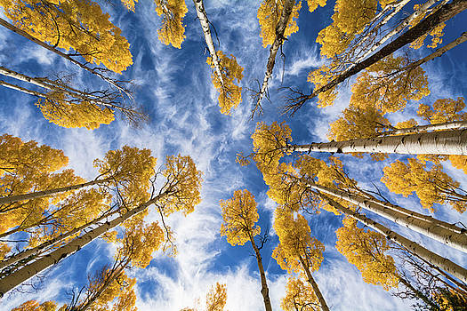 Aspen Tops Towards the Sky  by Saija Lehtonen