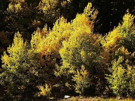 Aspen Trees Of New Mexico  by Joseph Frank Baraba