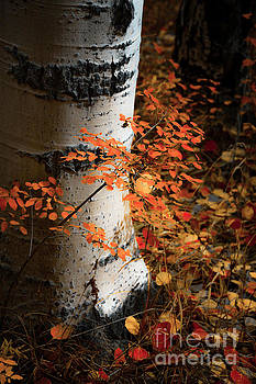 Aspen Woods by The Forests Edge Photography - Diane Sandoval