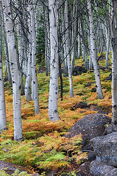 Aspens and Golden Ferns - www.ThomasSchoeller.Photography by Thomas Schoeller