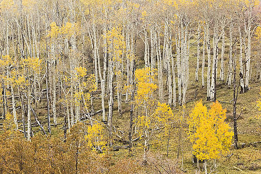 Aspens Dixie National Forest by Peter J Sucy