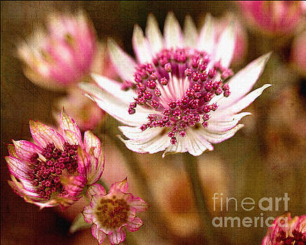 Astrantia Major by Liz Alderdice