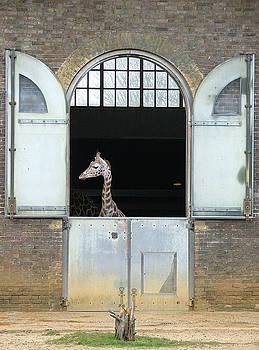 Asymmetrical Giraffe  by Heather Lennox