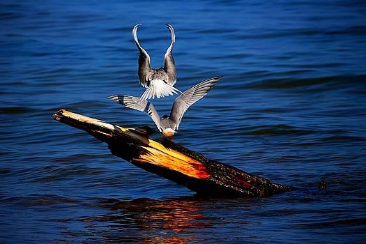 Atop a Tern by Amanda Struz