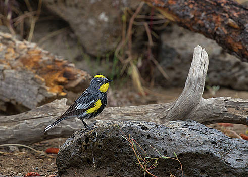 Audubons Yellowrumped Warbler by Doug Lloyd