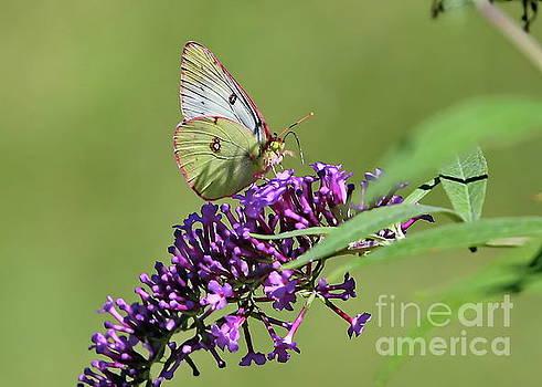 August Butterfly by Marcel  J Goetz  Sr