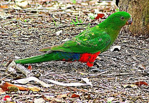 Australian King Parrot by Blair Stuart