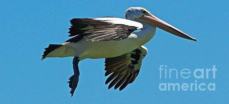 Australian pelican in Flight by Blair Stuart