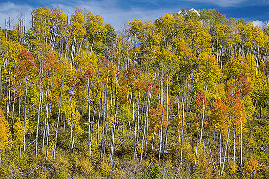 James BO  Insogna - Autumn Aspen Tree Forest Layers of Colors