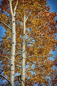 Autumn Aspens  by Saija Lehtonen