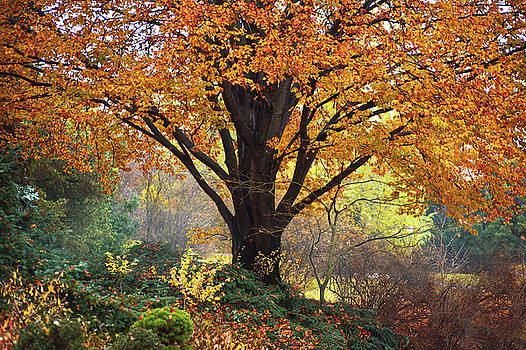 Jenny Rainbow - Autumn Glory of Beech Tree