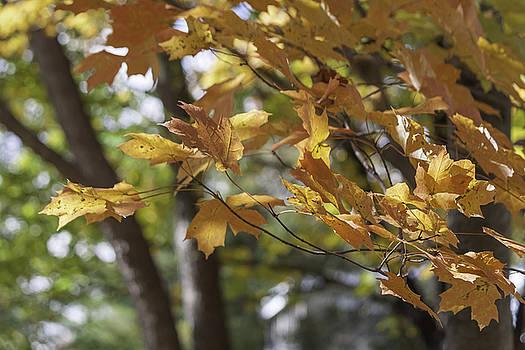 Teresa Mucha - Autumn Gold