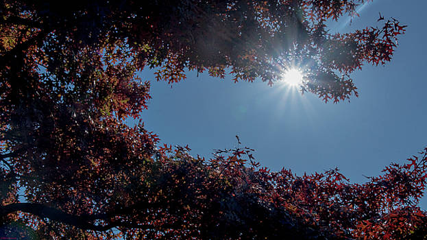 Autumn Oak and Sun by Mick Anderson