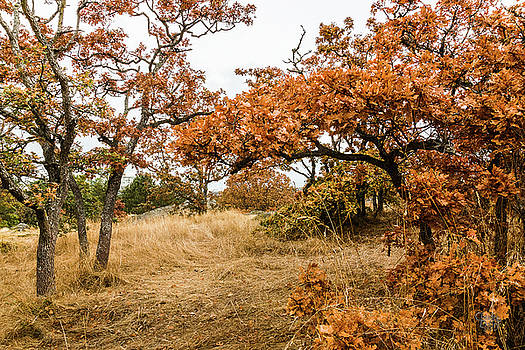 Autumn Oaks 2 by Claude Dalley