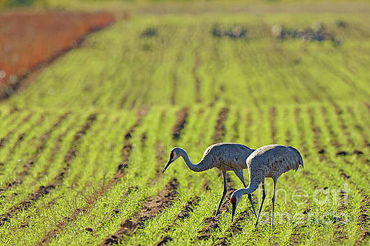 Autumn Sandhill Pair by Natural Focal Point Photography