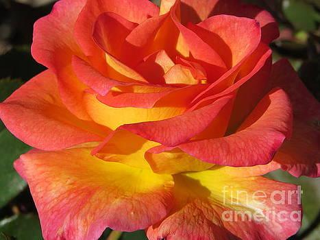 Autumn Sunset Rose by Putterhug  Studio